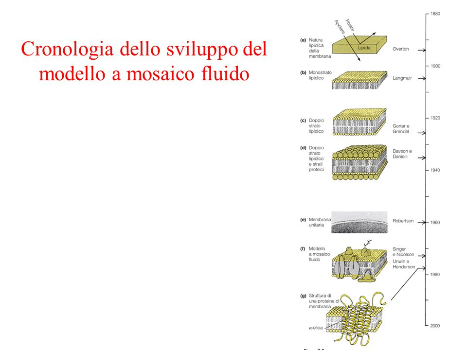 Cronologia dello sviluppo del modello a mosaico fluido