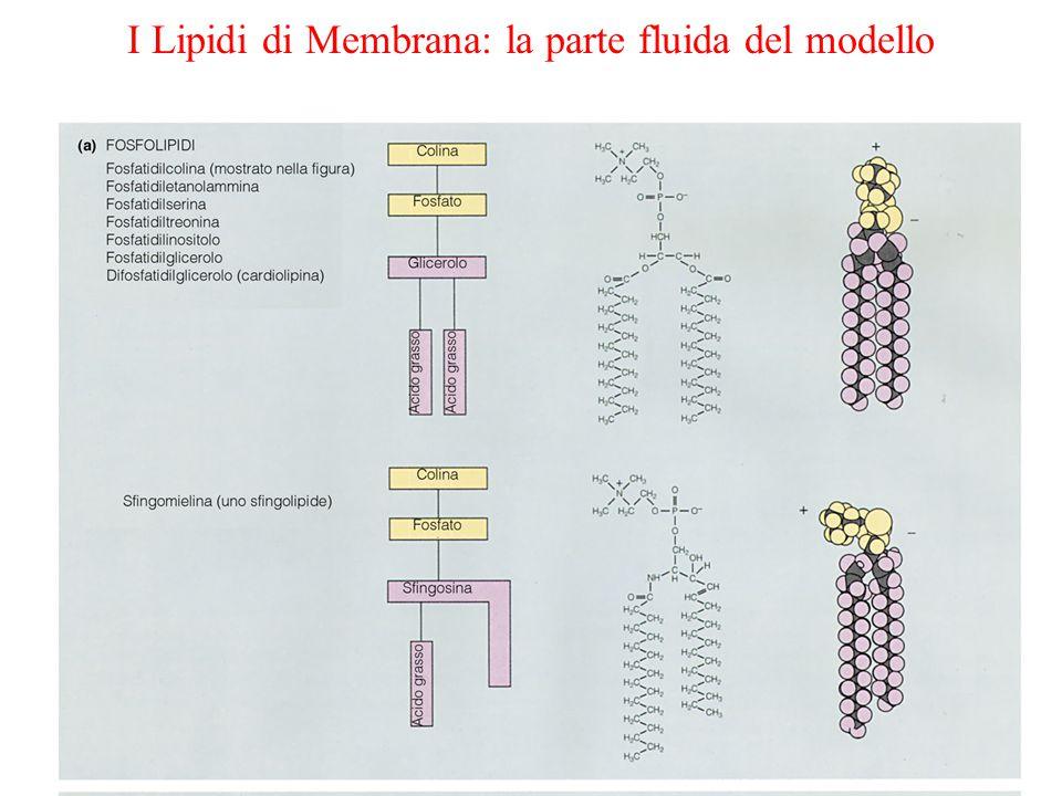 I Lipidi di Membrana: la parte fluida del modello