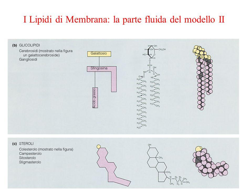 I Lipidi di Membrana: la parte fluida del modello II