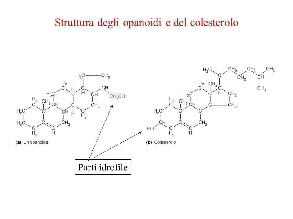 Struttura degli opanoidi e del colesterolo Parti idrofile