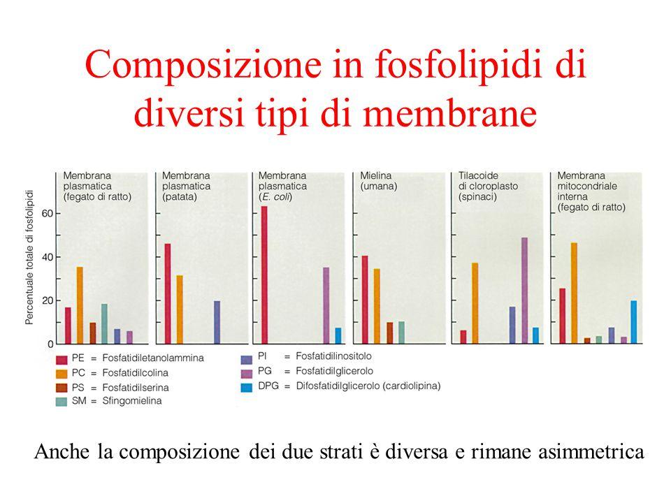 Composizione in fosfolipidi di diversi tipi di membrane Anche la composizione dei due strati è diversa e rimane asimmetrica