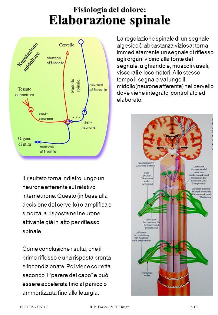 19.01.05 - DN 1.3© P. Forster & B. Buser2/10 Fisiologia del dolore: Elaborazione spinale La regolazione spinale di un segnale algesico è abbastanza vi