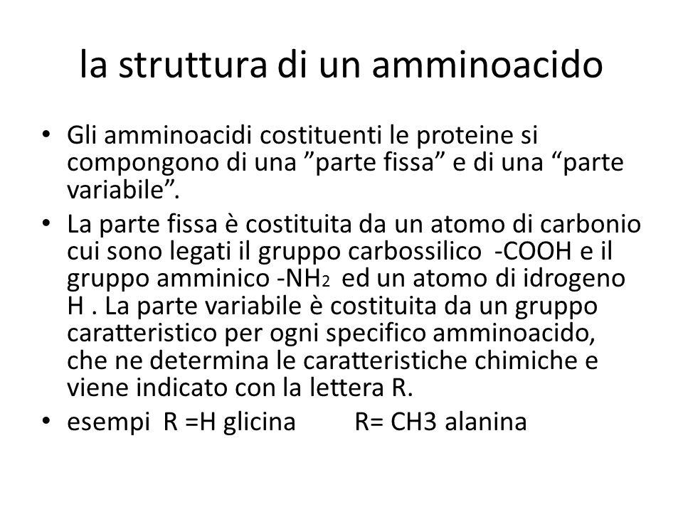"""la struttura di un amminoacido Gli amminoacidi costituenti le proteine si compongono di una """"parte fissa"""" e di una """"parte variabile"""". La parte fissa è"""