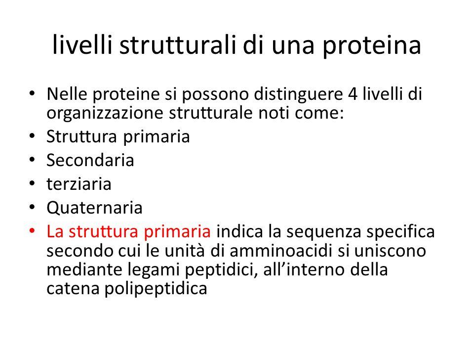 livelli strutturali di una proteina Nelle proteine si possono distinguere 4 livelli di organizzazione strutturale noti come: Struttura primaria Second