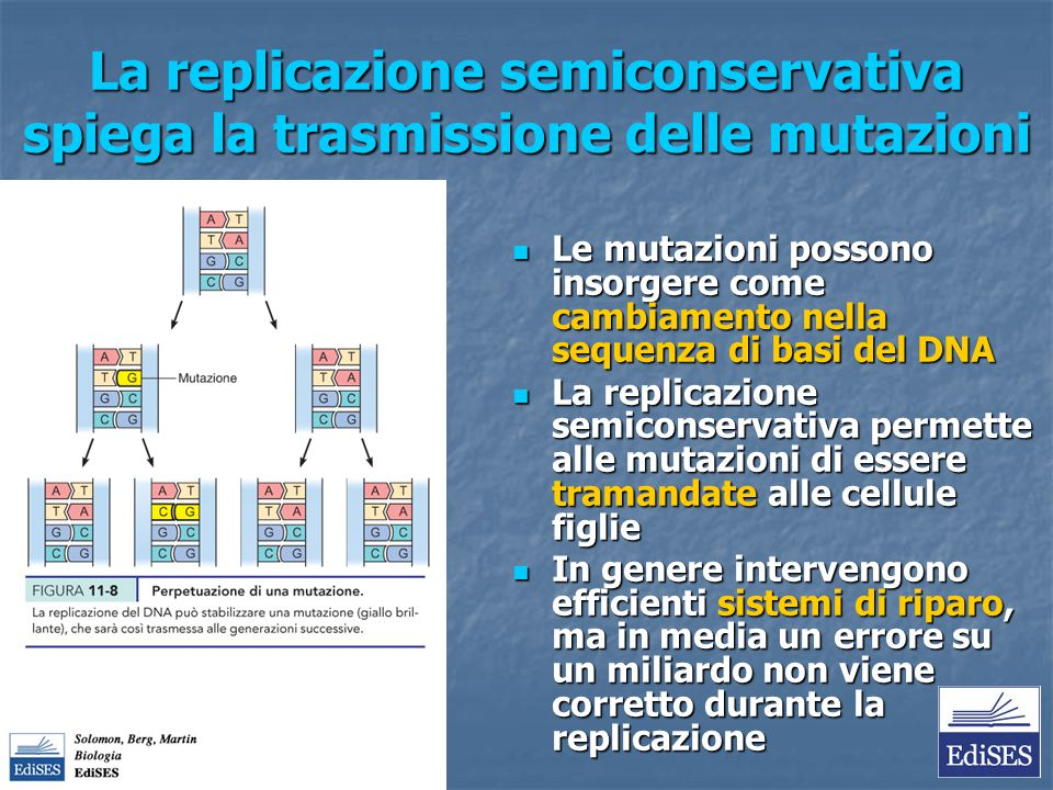 La replicazione semiconservativa spiega la trasmissione delle mutazioni Le mutazioni possono insorgere come cambiamento nella sequenza di basi del DNA