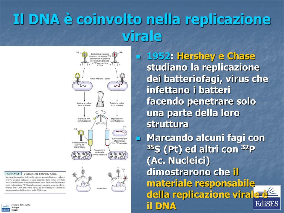 Il DNA è coinvolto nella replicazione virale 1952: Hershey e Chase studiano la replicazione dei batteriofagi, virus che infettano i batteri facendo pe
