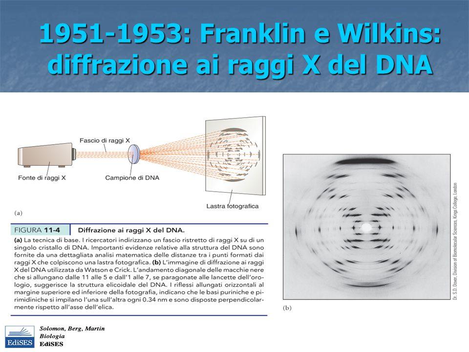 Struttura del DNA(II) Franklin e Wilkins: dalla analisi cristallografica si evince che il DNA ha struttura elicoidale e che si ripetono le misure di 0.34 nm, 3.4 nm, 2nm Franklin e Wilkins: dalla analisi cristallografica si evince che il DNA ha struttura elicoidale e che si ripetono le misure di 0.34 nm, 3.4 nm, 2nm Watson e Crick (1953) propongono un modello strutturale del DNA: due catene polinucleotidiche sono avvolte fra di loro a costituire una doppia elica.