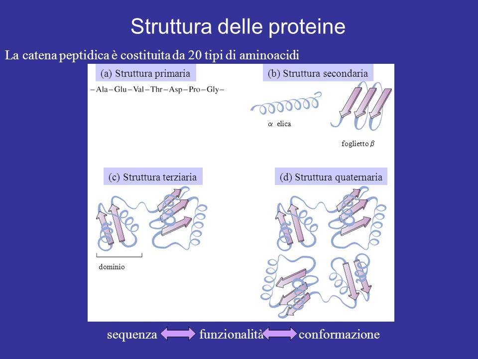 Struttura delle proteine sequenza funzionalità conformazione La catena peptidica è costituita da 20 tipi di aminoacidi (a) Struttura primaria(b) Struttura secondaria (c) Struttura terziaria(d) Struttura quaternaria  elica foglietto  dominio