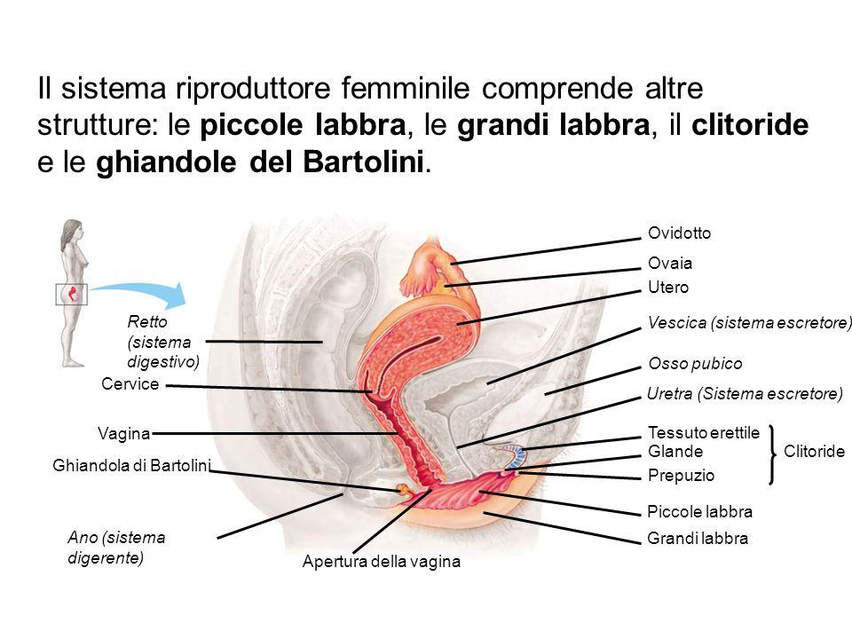 Ovidotto Ovaia Utero Vescica (sistema escretore) Osso pubico Uretra (Sistema escretore) Tessuto erettile Glande Prepuzio Clitoride Piccole labbra Gran