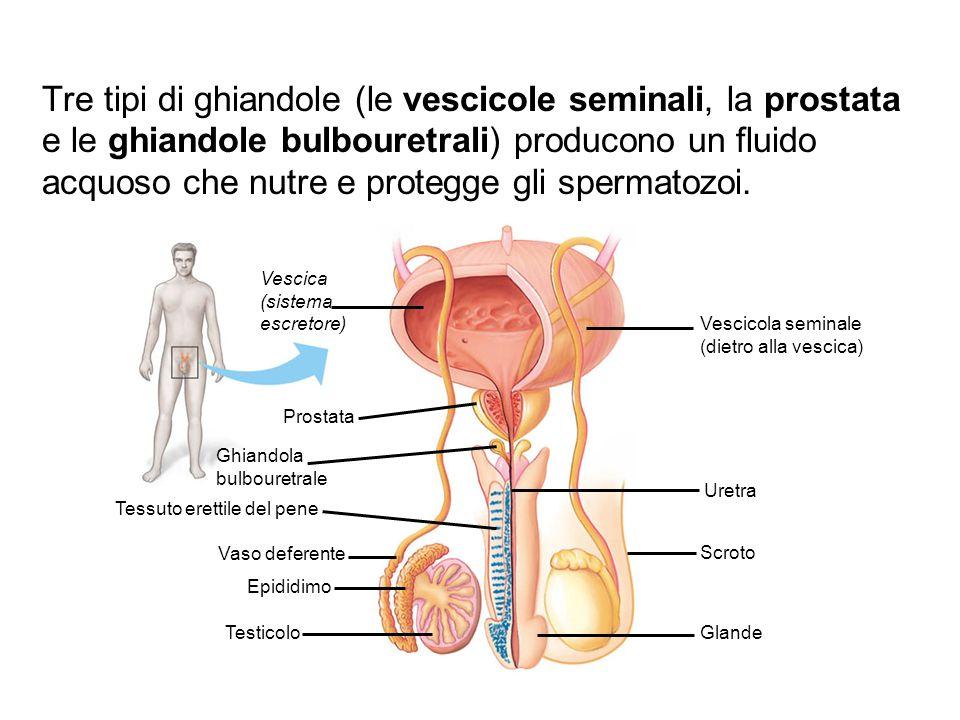 Vescica (sistema escretore) Prostata Ghiandola bulbouretrale Tessuto erettile del pene Vaso deferente Epididimo Testicolo Vescicola seminale (dietro a