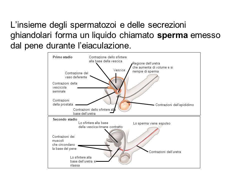 L'insieme degli spermatozoi e delle secrezioni ghiandolari forma un liquido chiamato sperma emesso dal pene durante l'eiaculazione. Contrazione dello