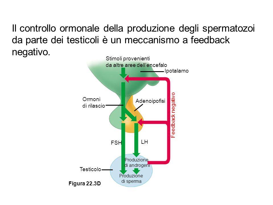 Stimoli provenienti da altre aree dell'encefalo Ipotalamo Ormoni di rilascio Adenoipofisi Feedback negativo FSH LH Produzione di androgeni Produzione
