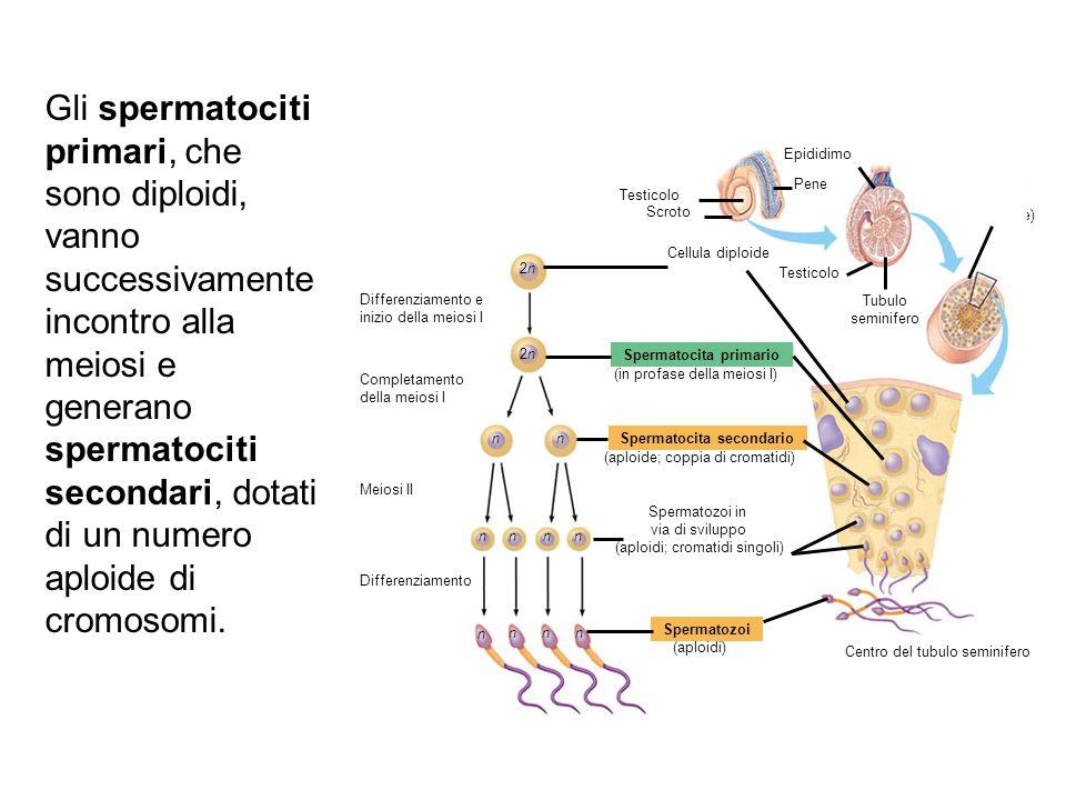 Tubulo seminifero (sezione trasversale) Spermatocita primario Differenziamento e inizio della meiosi I Completamento della meiosi I Meiosi II Differen