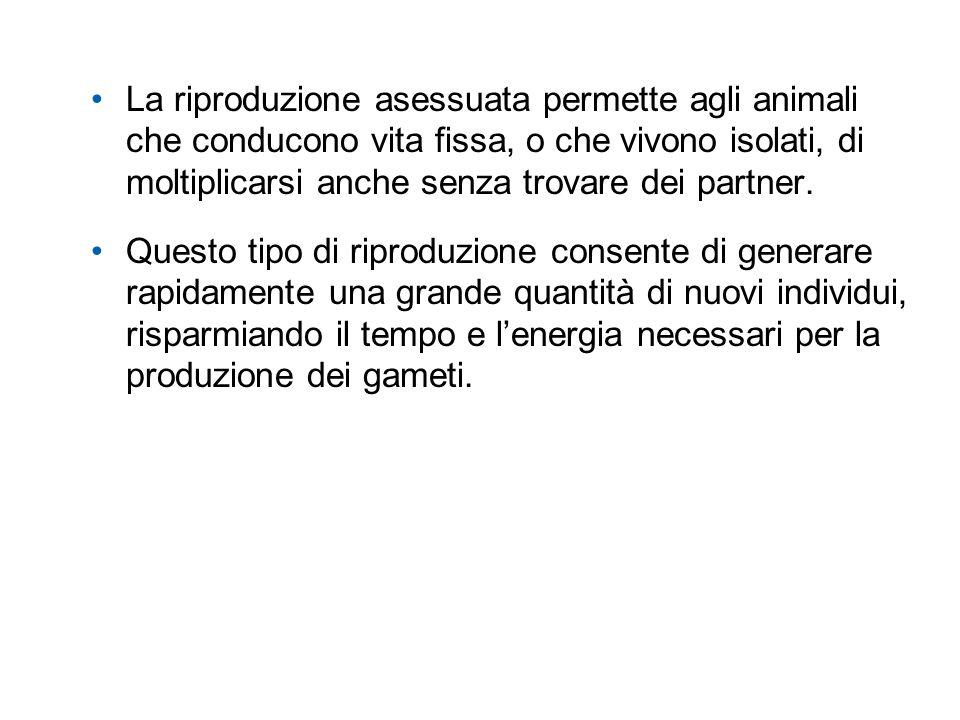 La riproduzione asessuata permette agli animali che conducono vita fissa, o che vivono isolati, di moltiplicarsi anche senza trovare dei partner. Ques