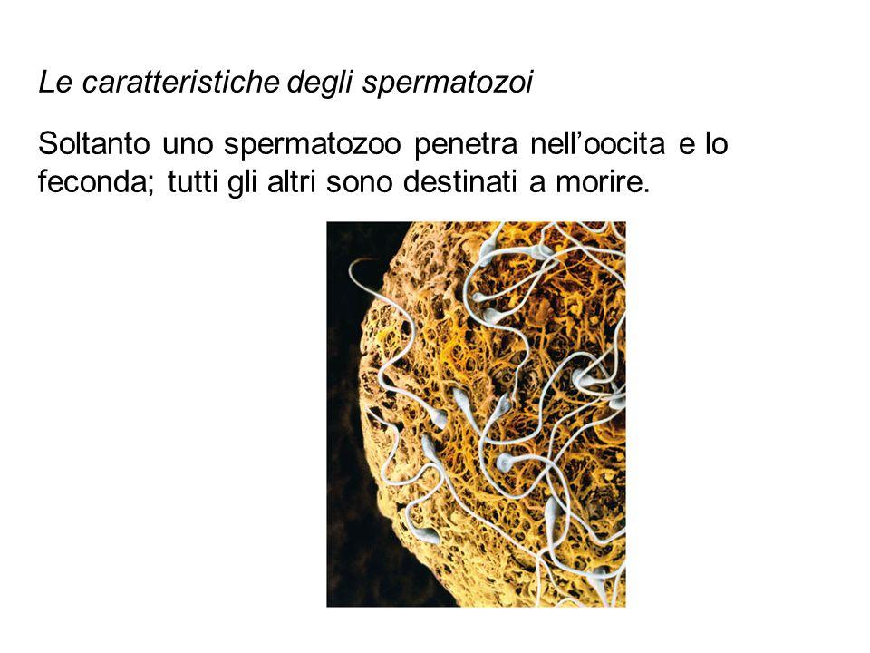 Le caratteristiche degli spermatozoi Soltanto uno spermatozoo penetra nell'oocita e lo feconda; tutti gli altri sono destinati a morire.