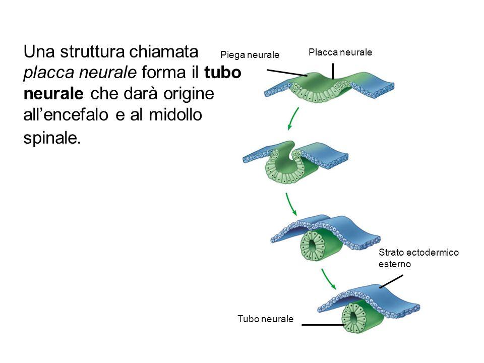 Piega neurale Placca neurale Strato ectodermico esterno Tubo neurale Una struttura chiamata placca neurale forma il tubo neurale che darà origine all'