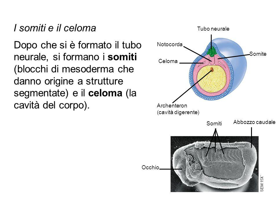 Tubo neurale Somite Notocorda Celoma Archenteron (cavità digerente) Somiti Abbozzo caudale Occhio SEM 15X´ Dopo che si è formato il tubo neurale, si f