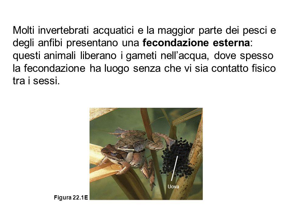 Uova Figura 22.1E Molti invertebrati acquatici e la maggior parte dei pesci e degli anfibi presentano una fecondazione esterna: questi animali liberan