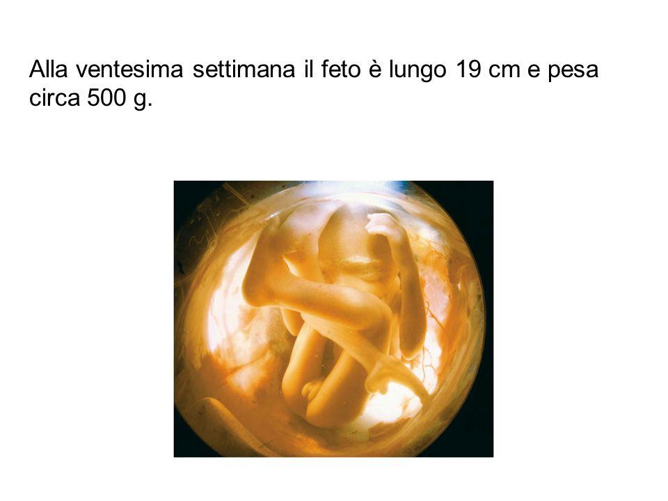 Alla ventesima settimana il feto è lungo 19 cm e pesa circa 500 g.