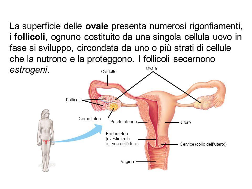 Ovidotto Ovaie Follicoli Corpo luteo Parete uterina Utero Endometrio (rivestimento interno dell'utero) Cervice (collo dell'utero)) Vagina La superfici