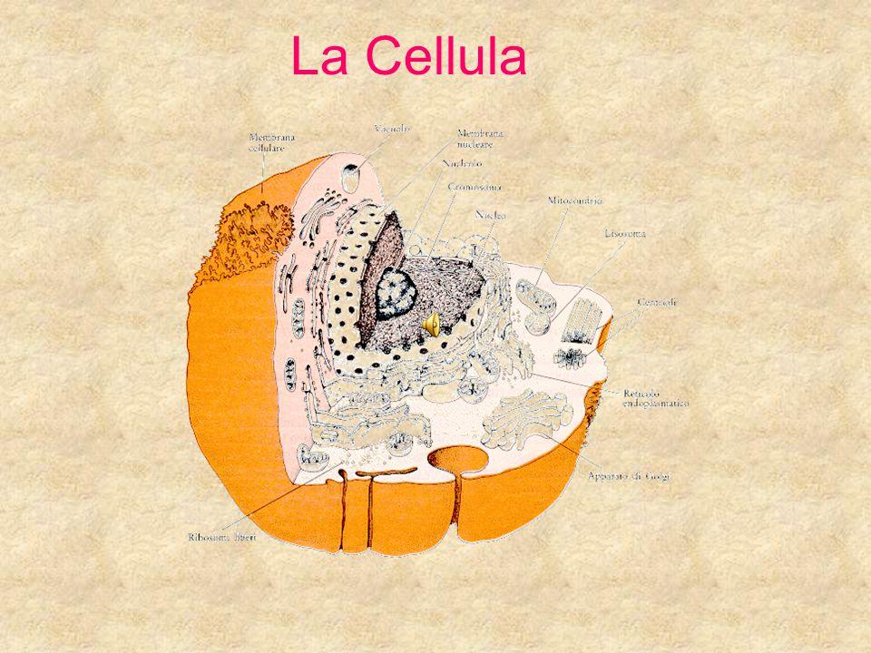 Costituenti della Cellula Eucariota -Membrana plasmatica -Citosol -Ribosomi e reticolo endoplasmatico -Apparato del Golgi -Lisosomi e perossisomi -Nucleo -Mitocondri -Citoscheletro