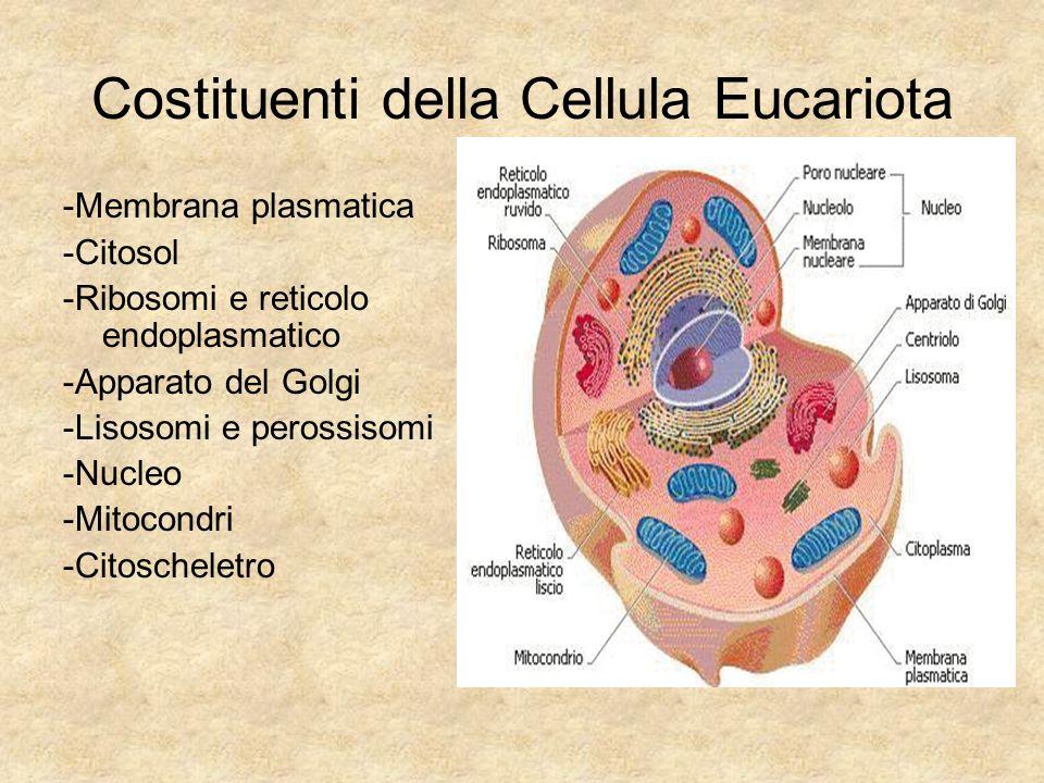 Costituenti della Cellula Eucariota -Membrana plasmatica -Citosol -Ribosomi e reticolo endoplasmatico -Apparato del Golgi -Lisosomi e perossisomi -Nuc