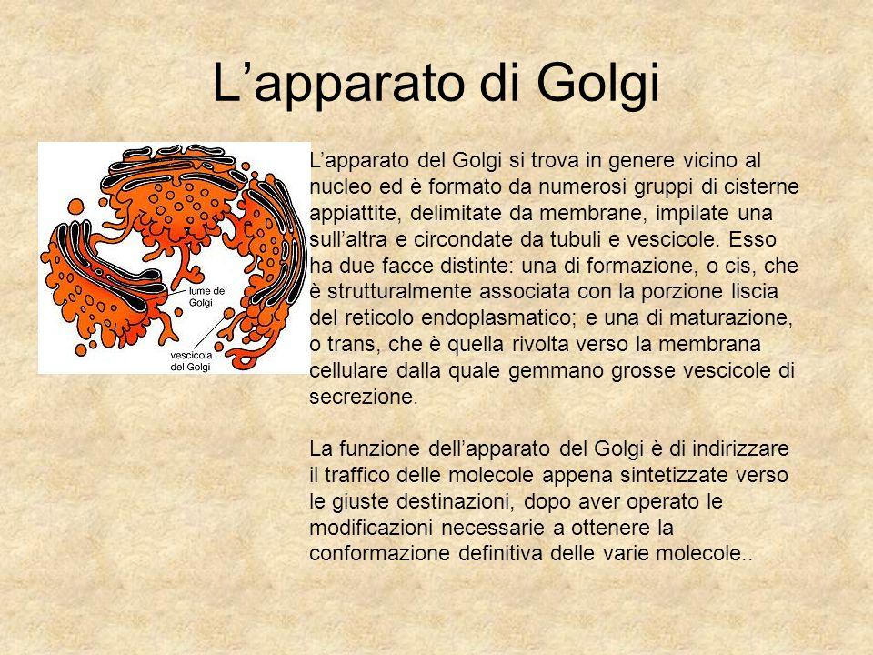 L'apparato di Golgi L'apparato del Golgi si trova in genere vicino al nucleo ed è formato da numerosi gruppi di cisterne appiattite, delimitate da mem