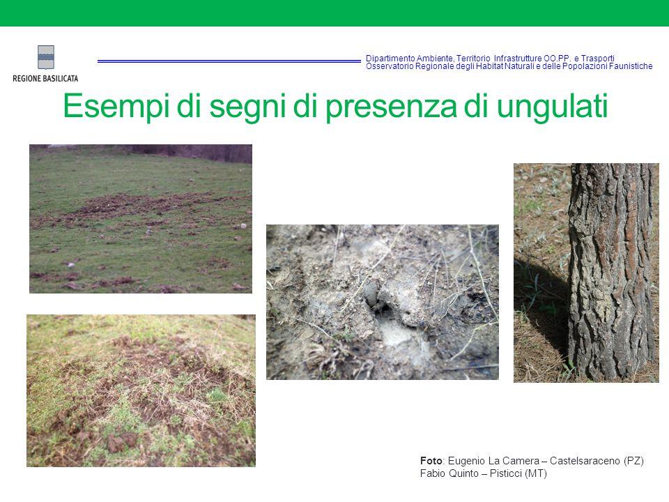 Esempi di segni di presenza di ungulati Foto: Eugenio La Camera – Castelsaraceno (PZ) Fabio Quinto – Pisticci (MT) Dipartimento Ambiente, Territorio Infrastrutture OO.PP.