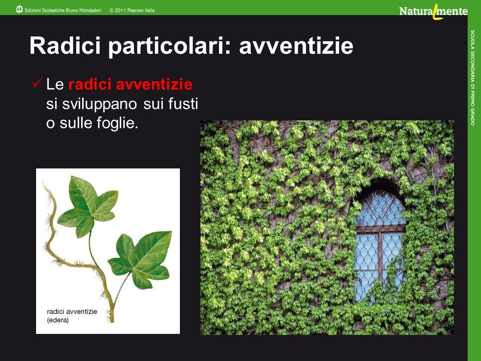 Radici particolari: tuberose Le radici tuberose rappresentano per la pianta una riserva di sostanze nutritive.