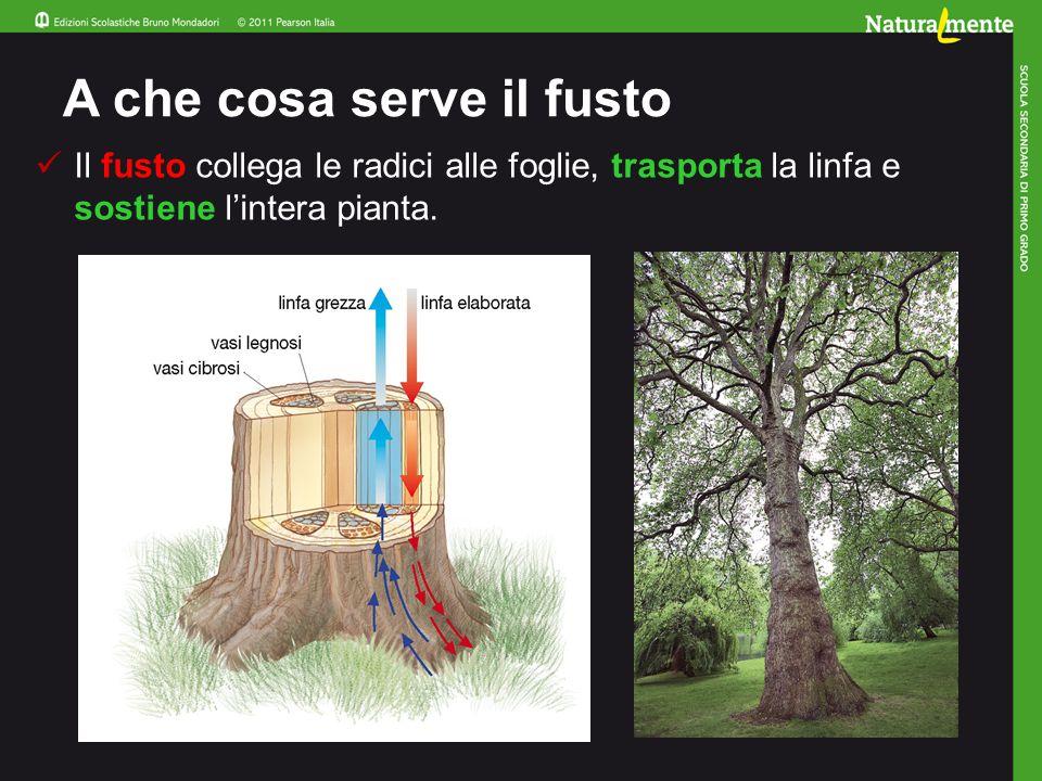 A che cosa serve il fusto Il fusto collega le radici alle foglie, trasporta la linfa e sostiene l'intera pianta.