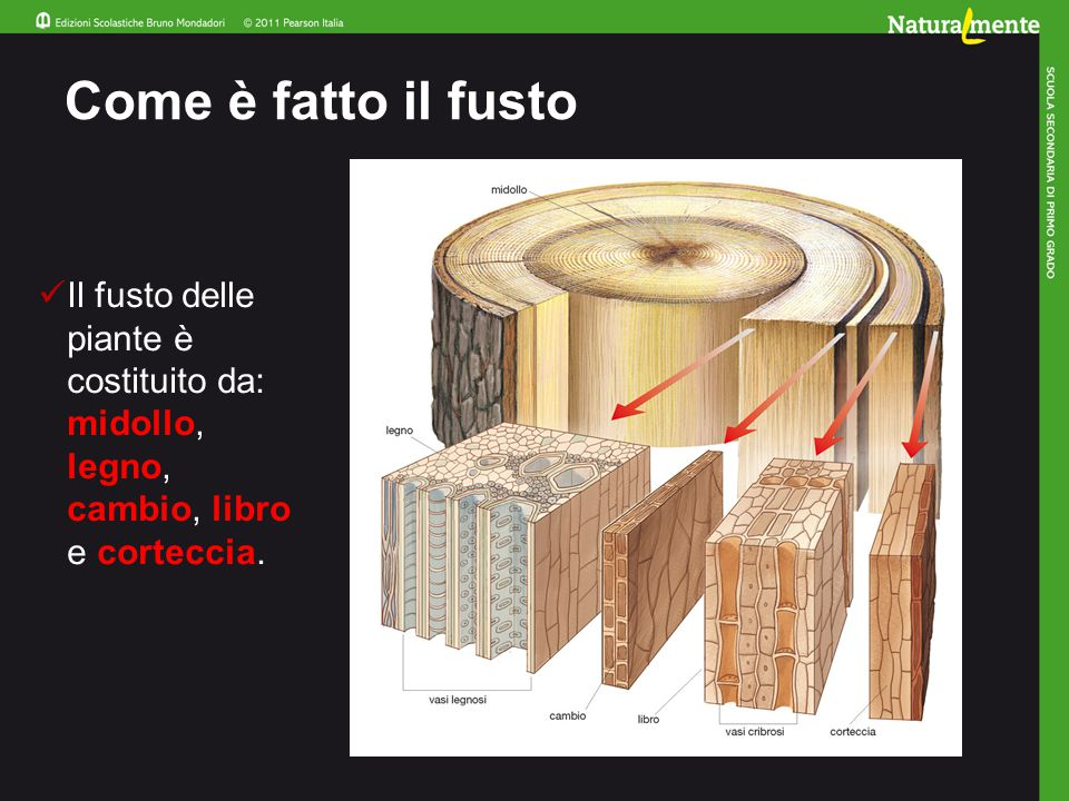 Come è fatto il fusto Il fusto delle piante è costituito da: midollo, legno, cambio, libro e corteccia.