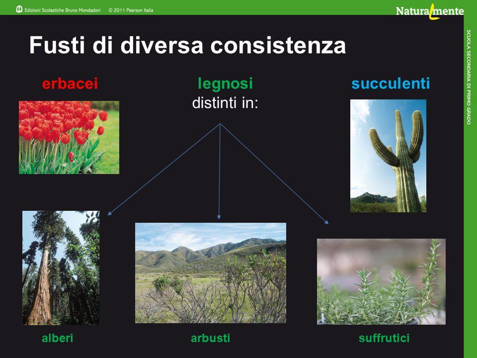 Fusti di diversa consistenza erbacei legnosi distinti in: succulenti alberiarbustisuffrutici