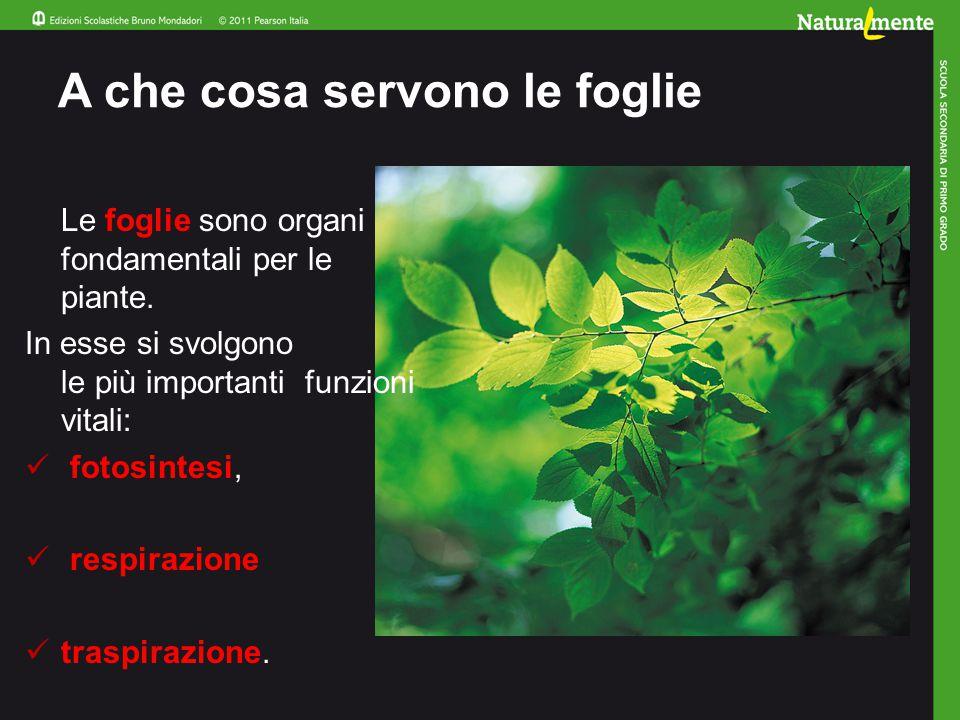 Come sono fatte le foglie Sono formate da una lamina fogliare, da un picciolo, da una nervatura centrale e da nervature secondarie.