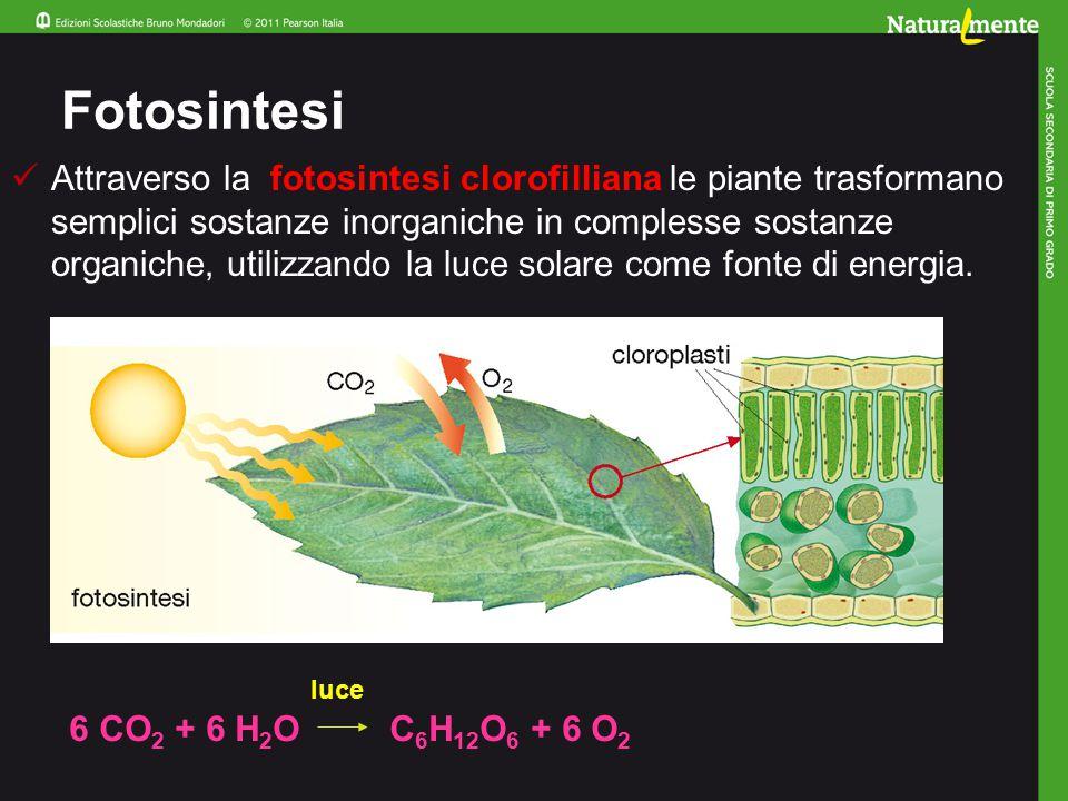 Fotosintesi Attraverso la fotosintesi clorofilliana le piante trasformano semplici sostanze inorganiche in complesse sostanze organiche, utilizzando la luce solare come fonte di energia.