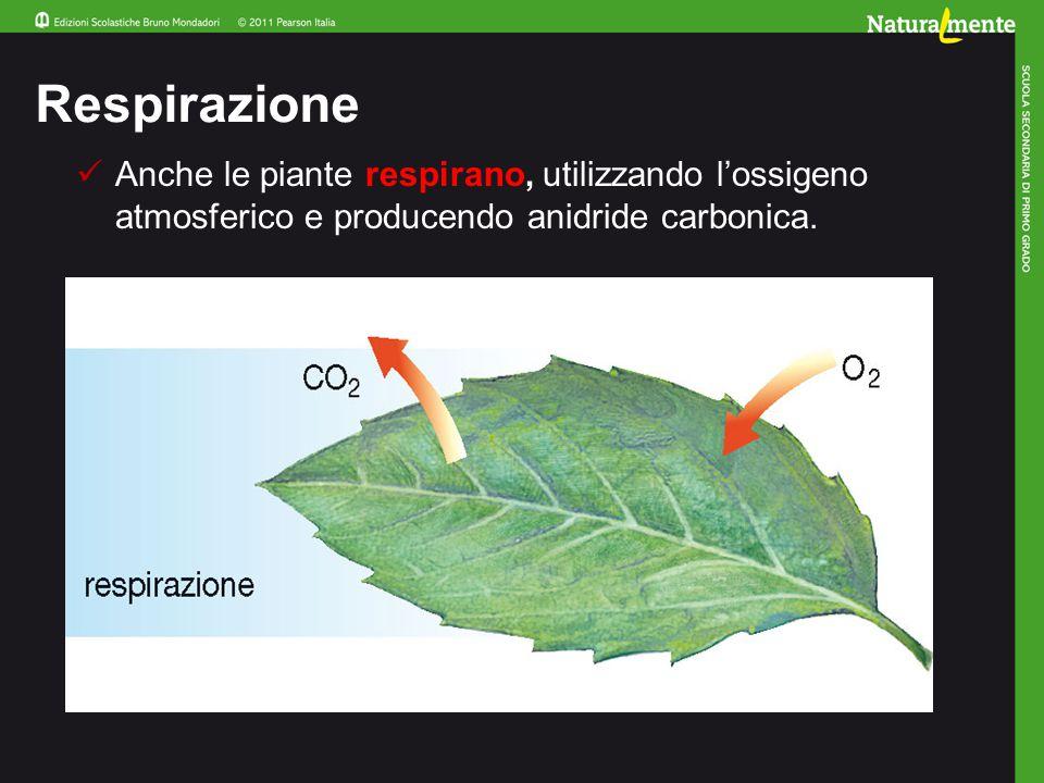 Respirazione Anche le piante respirano, utilizzando l'ossigeno atmosferico e producendo anidride carbonica.