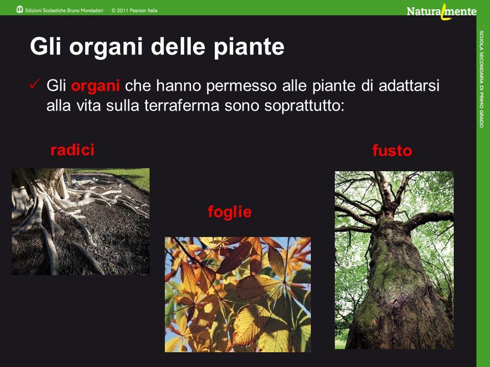 Gli organi delle piante Gli organi che hanno permesso alle piante di adattarsi alla vita sulla terraferma sono soprattutto: radici foglie fusto