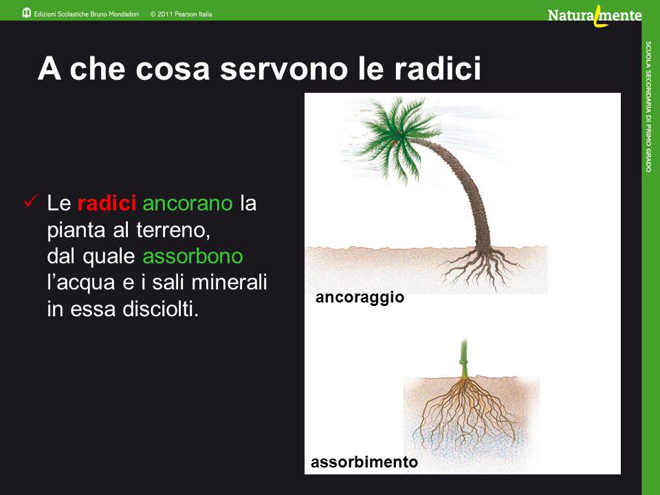 A che cosa servono le radici Le radici ancorano la pianta al terreno, dal quale assorbono l'acqua e i sali minerali in essa disciolti.