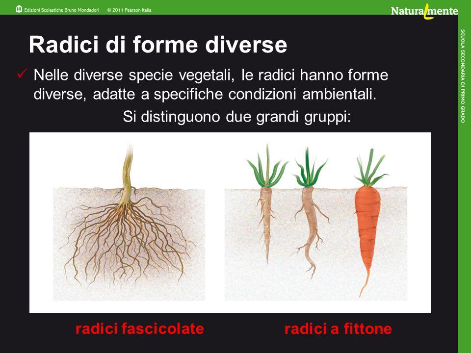 Radici di forme diverse Nelle diverse specie vegetali, le radici hanno forme diverse, adatte a specifiche condizioni ambientali.