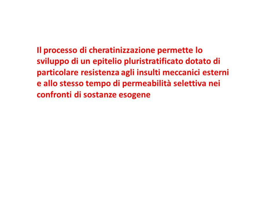 Il processo di cheratinizzazione permette lo sviluppo di un epitelio pluristratificato dotato di particolare resistenza agli insulti meccanici esterni