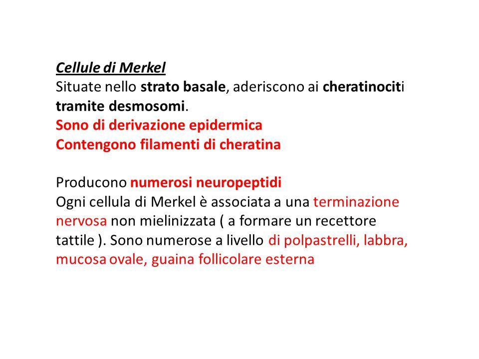 Cellule di Merkel Situate nello strato basale, aderiscono ai cheratinociti tramite desmosomi. Sono di derivazione epidermica Contengono filamenti di c