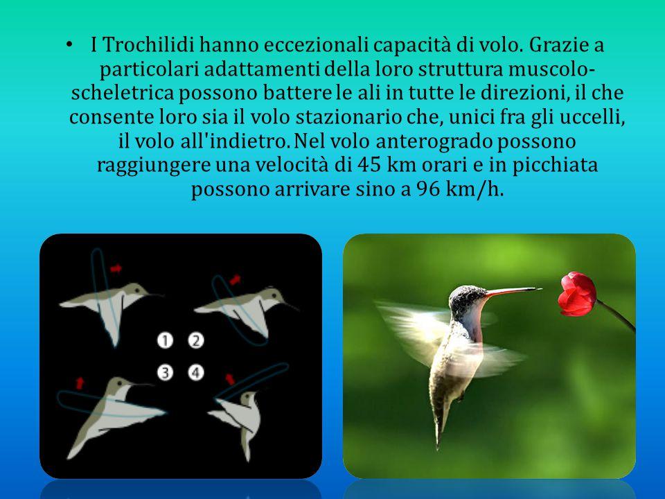 I Trochilidi hanno eccezionali capacità di volo. Grazie a particolari adattamenti della loro struttura muscolo- scheletrica possono battere le ali in