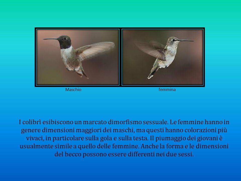 Maschio femmina I colibrì esibiscono un marcato dimorfismo sessuale. Le femmine hanno in genere dimensioni maggiori dei maschi, ma questi hanno colora