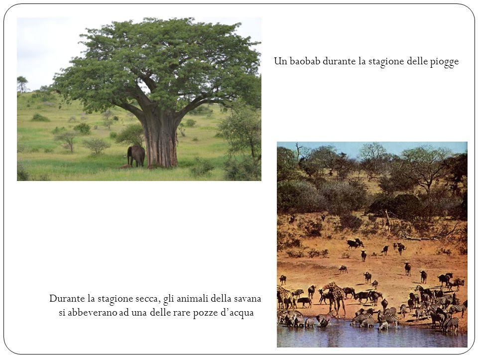 Un baobab durante la stagione delle piogge Durante la stagione secca, gli animali della savana si abbeverano ad una delle rare pozze d'acqua
