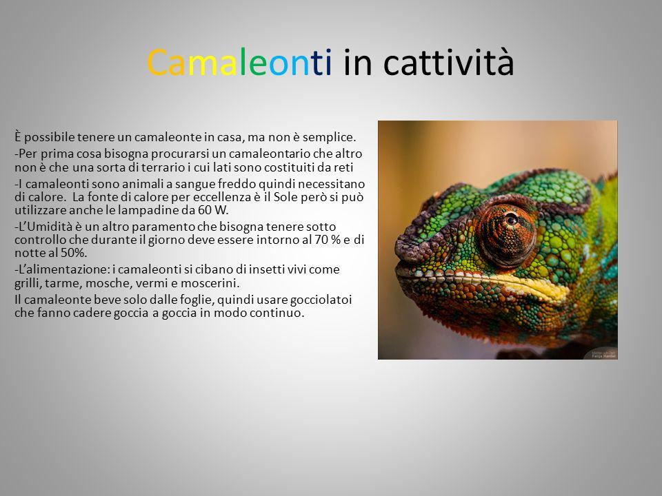 Camaleonti in cattività È possibile tenere un camaleonte in casa, ma non è semplice.