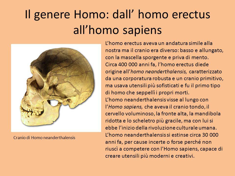 Il genere Homo: dall' homo erectus all'homo sapiens L'homo erectus aveva un andatura simile alla nostra ma il cranio era diverso: basso e allungato, c
