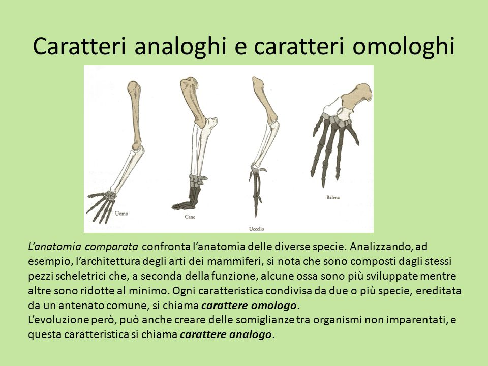 Caratteri analoghi e caratteri omologhi L'anatomia comparata confronta l'anatomia delle diverse specie. Analizzando, ad esempio, l'architettura degli