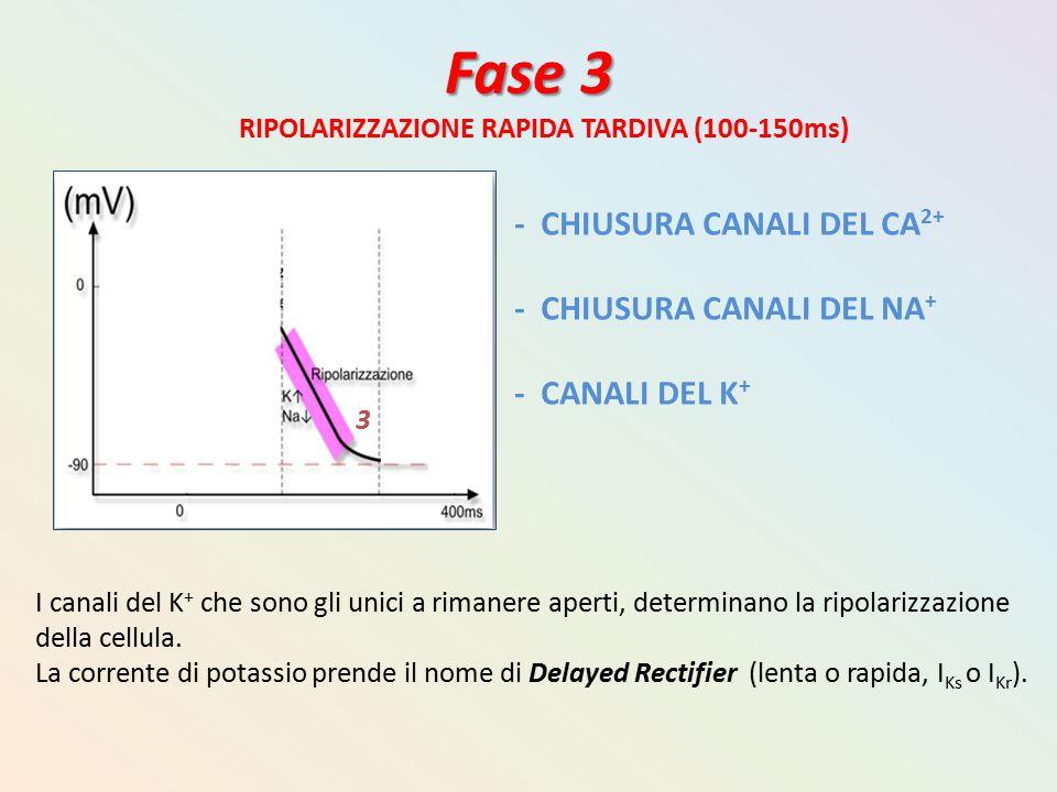 Fase 3 RIPOLARIZZAZIONE RAPIDA TARDIVA (100-150ms) - CHIUSURA CANALI DEL CA 2+ - CHIUSURA CANALI DEL NA + - CANALI DEL K + I canali del K + che sono g