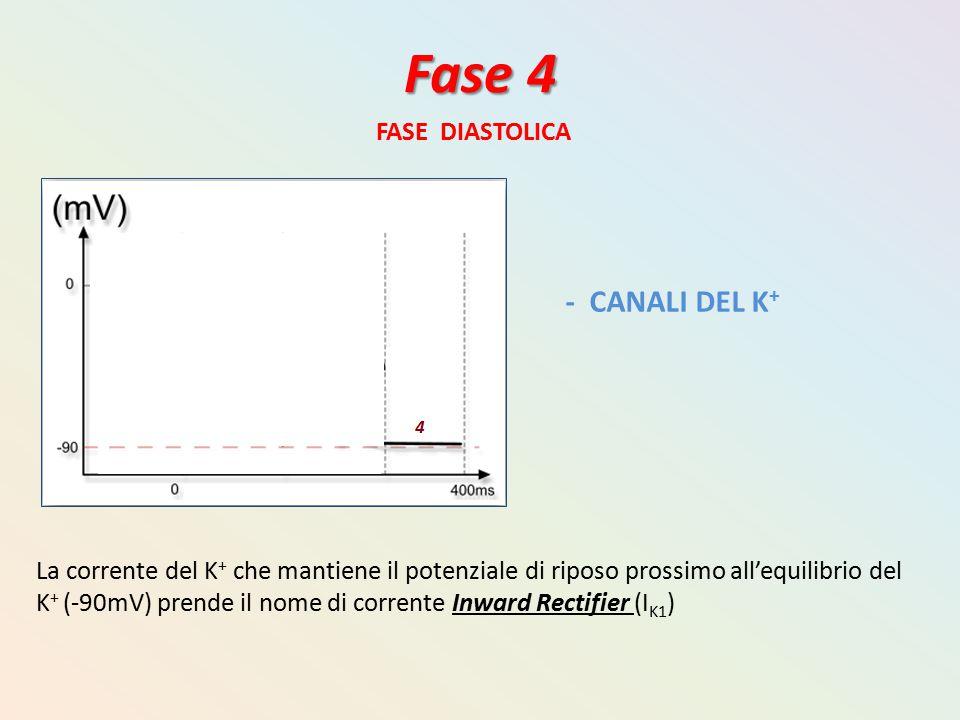 Fase 4 FASE DIASTOLICA - CANALI DEL K + La corrente del K + che mantiene il potenziale di riposo prossimo all'equilibrio del K + (-90mV) prende il nom