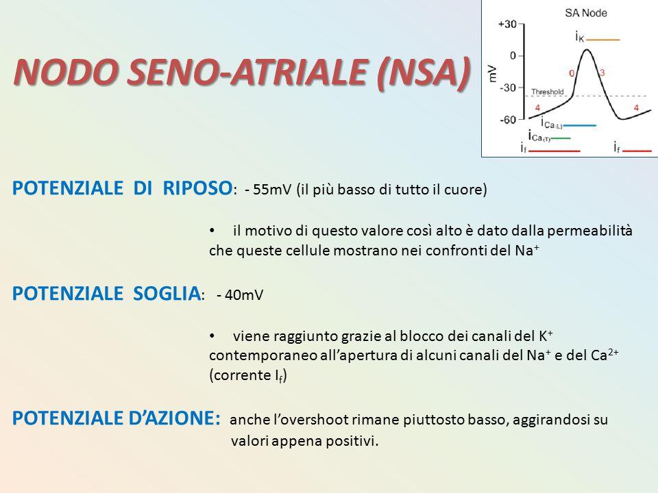 NODO SENO-ATRIALE (NSA) POTENZIALE DI RIPOSO : - 55mV (il più basso di tutto il cuore) il motivo di questo valore così alto è dato dalla permeabilità