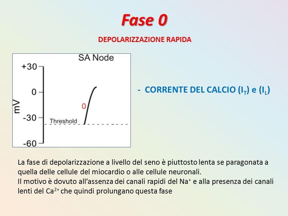 Fase 0 DEPOLARIZZAZIONE RAPIDA La fase di depolarizzazione a livello del seno è piuttosto lenta se paragonata a quella delle cellule del miocardio o a